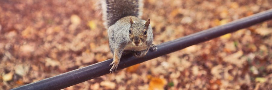 grey squirrel in autumn
